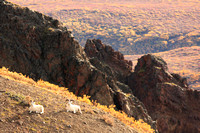 Dall Sheep Fall Colors