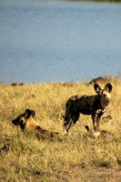 Painted Dog Lookouts